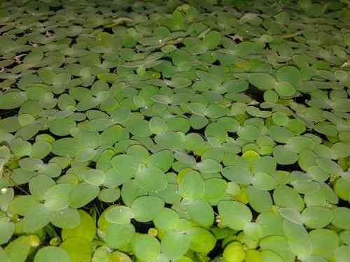 Pistia stratiotes (Muschelblume) - 125ml Cup