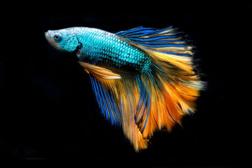 Kampffisch - Betta splendens