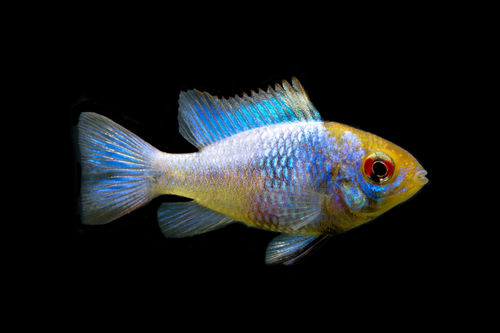 Electric Blue - Mikrogeophagus ramirezi
