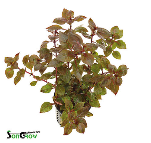 "Ludwigia sp. ""Super Red"" - Topf"