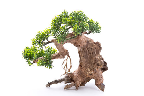 Bonsai Baum Zirbe