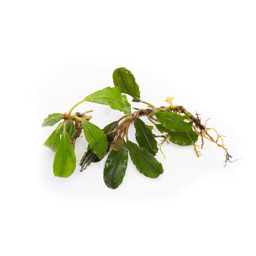 Bucephalandra Apple Leaf - 50ml Cup