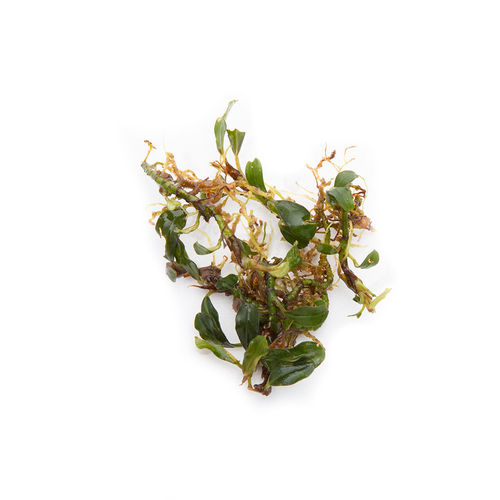 Bucephalandra Mini Arrow Head - 50ml Cup