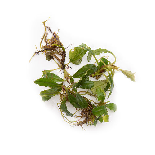 Bucephalandra Lady - 50ml Cup